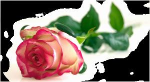 rose im hintergrund